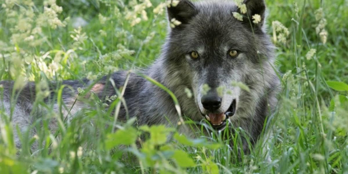 Ejecutivos despiertan al animal que llevan dentro conviviendo con lobos