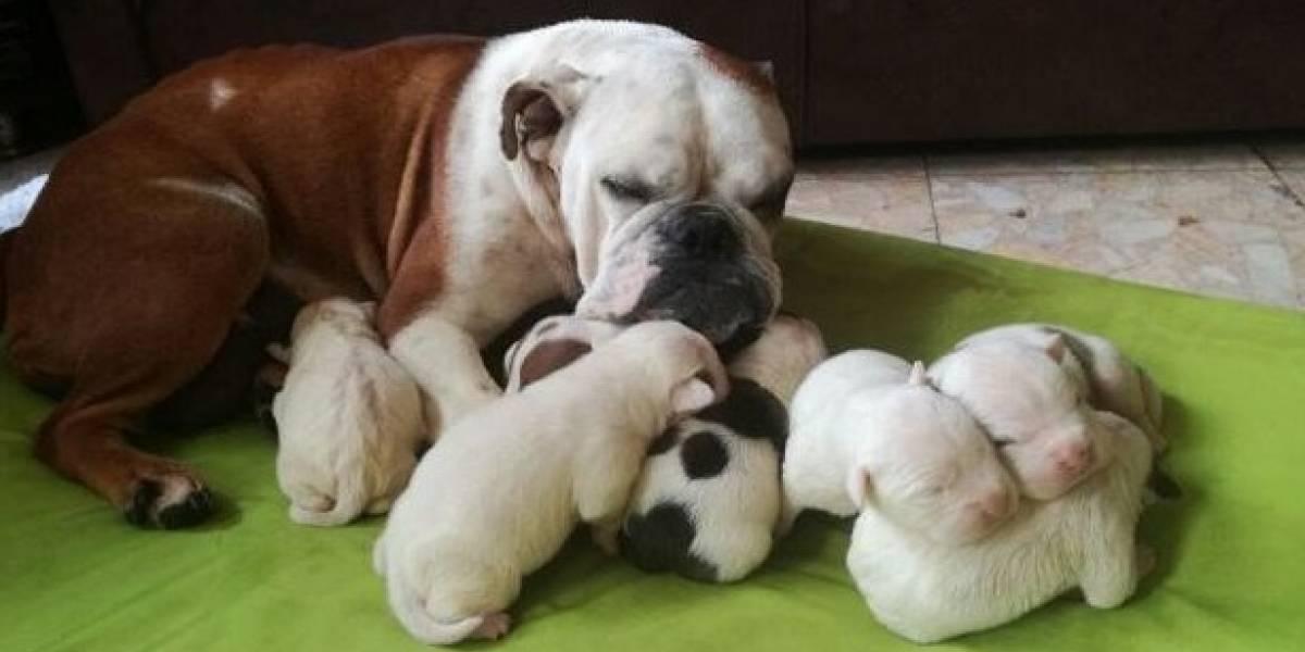 Conozca la historia de Fiona, una perrita bulldog que era explotada para vender sus crías en Bogotá