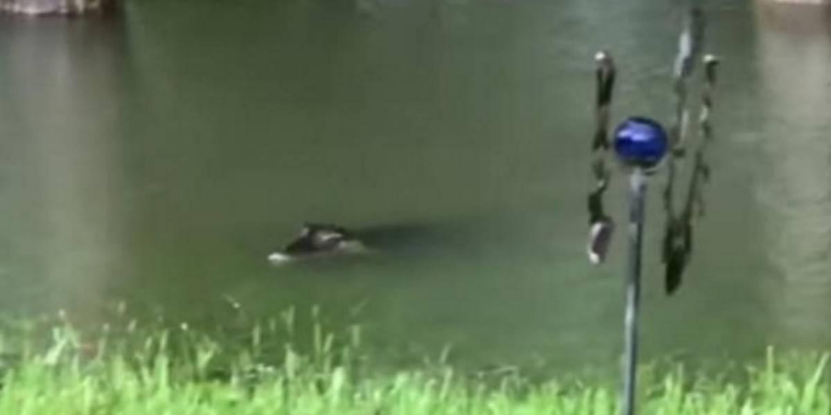 VIDEO. Graba a varios cocodrilos nadando en su jardín durante inundaciones en Texas
