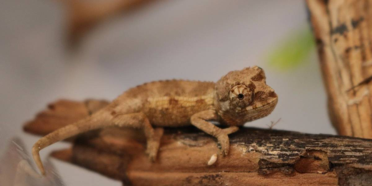 Nacen 10 crías de camaleón en el Acuario Michin
