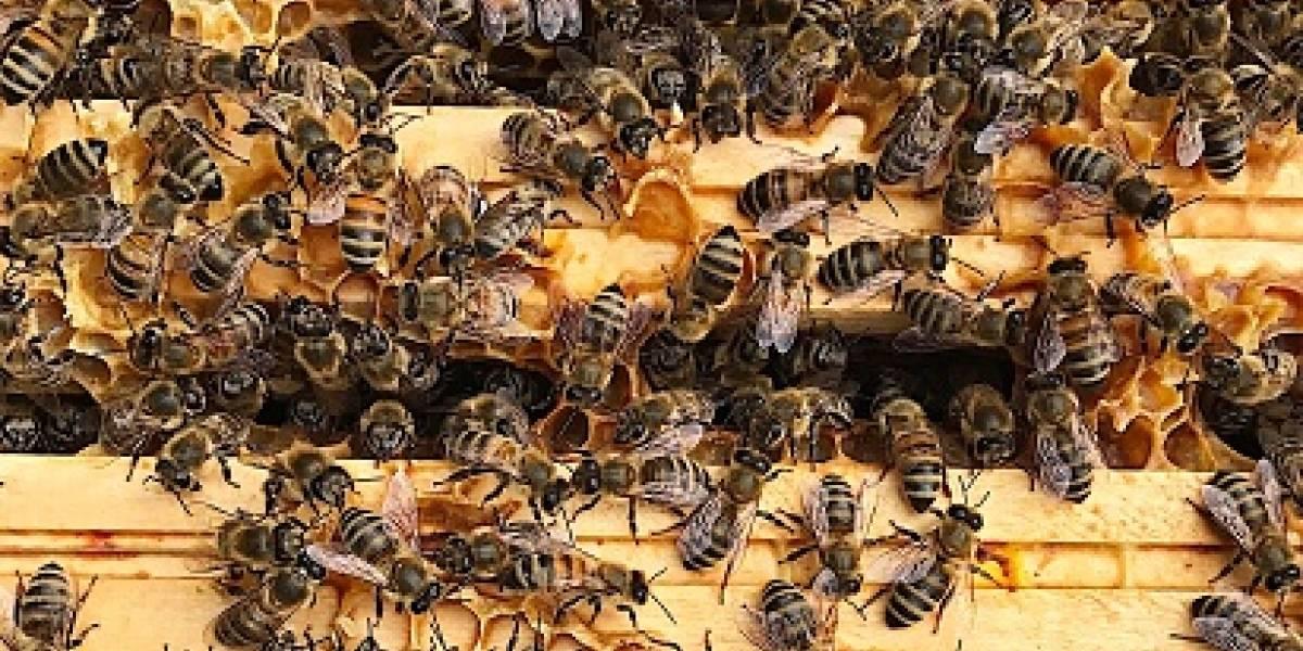 Hombre se sentó sobre panal de abejas por una apuesta