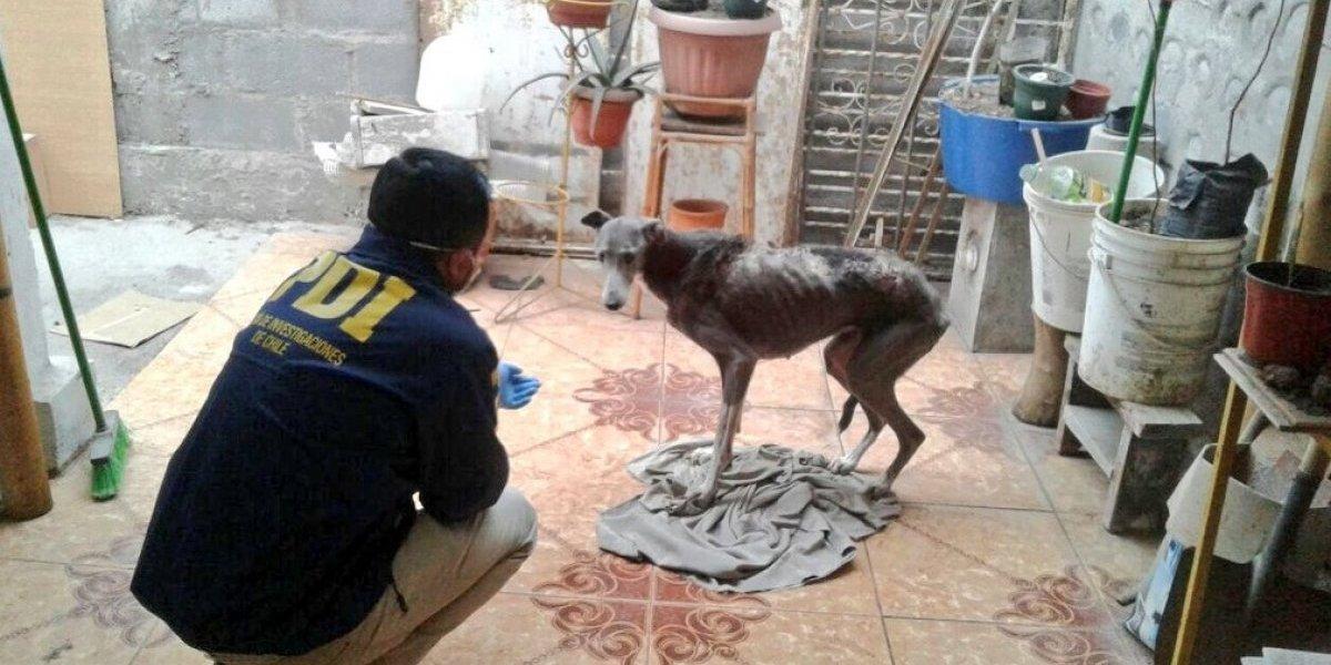 Aplican Ley Cholito por perro maltratado en Arica: tenía a su mascota en condiciones extremas de abandono