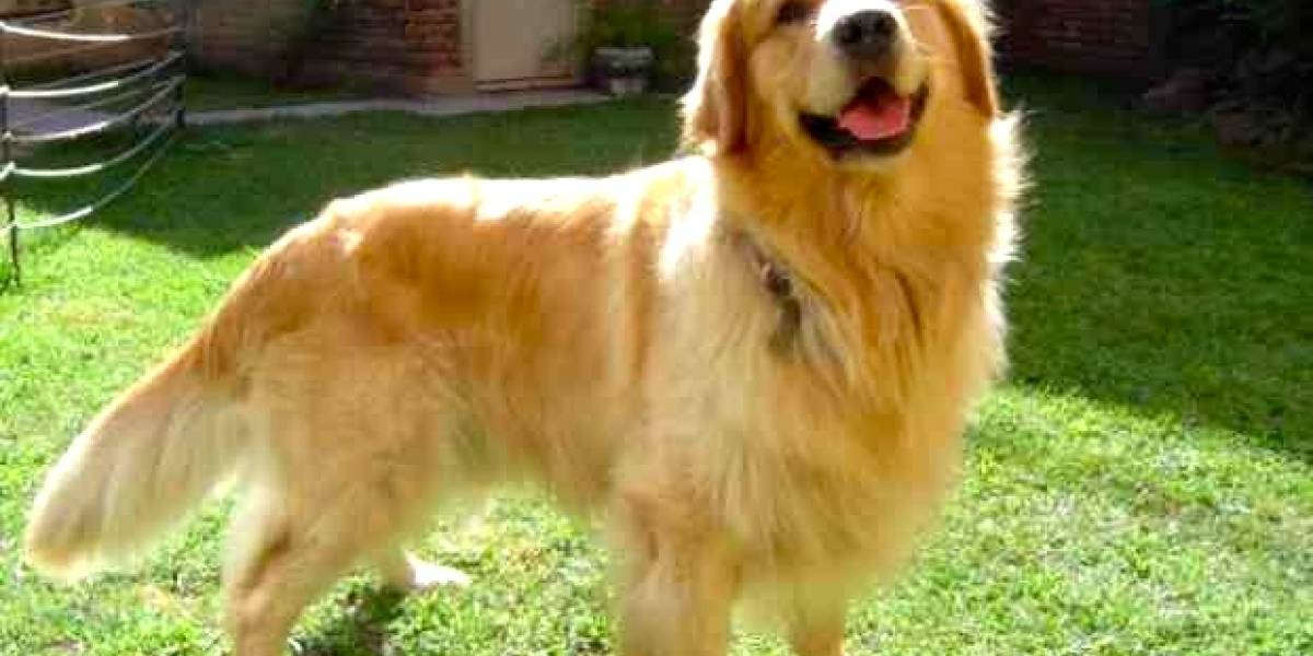 Rescatan a 20 perros golden retriever desde carnicerías en China