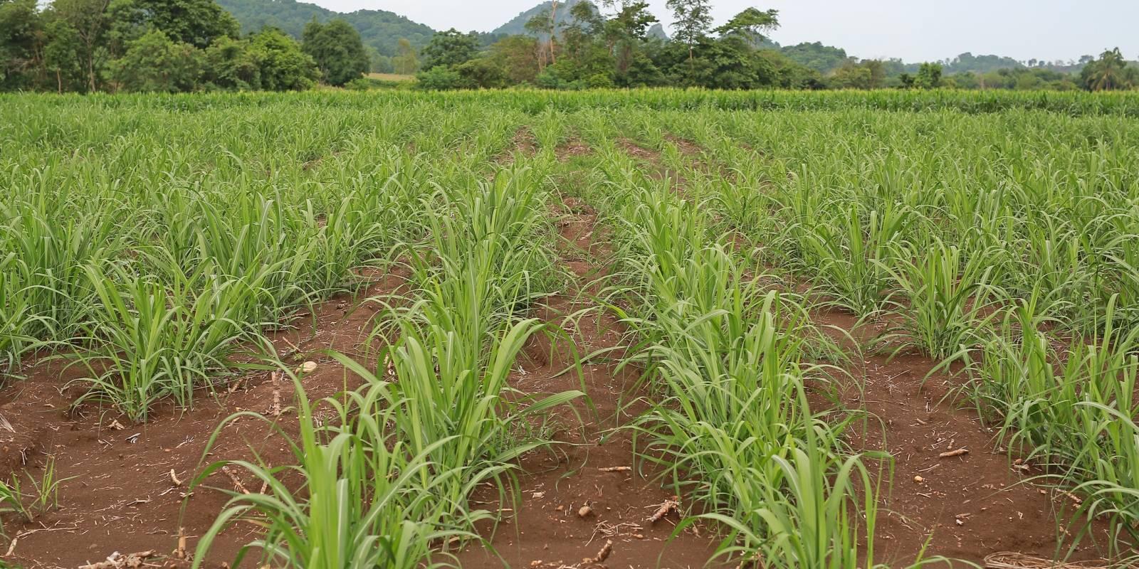 Sugarcane for sugar factories.