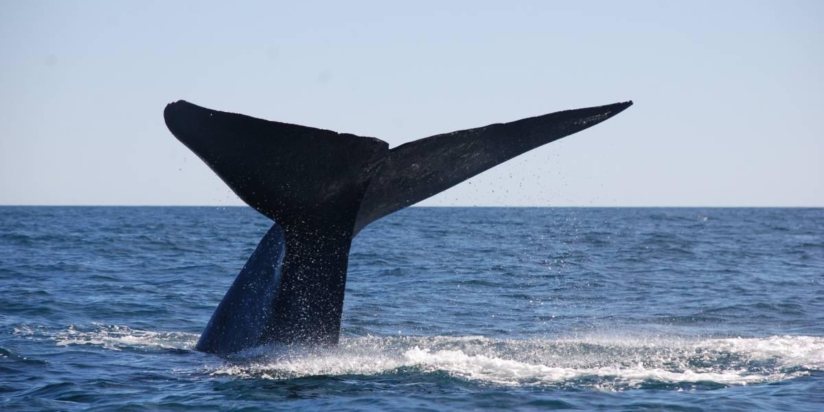 La dramática historia de la extinción de la ballena azul en Chile