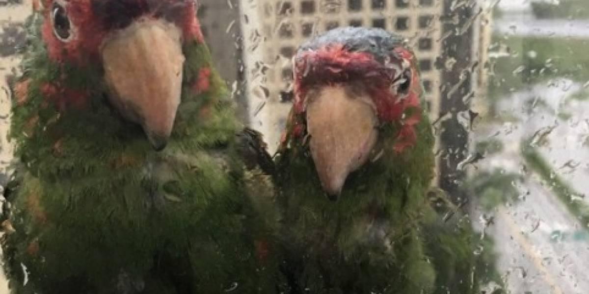 """La foto de dos loritos """"suplicando"""" por refugio durante huracán Irma que enternece a Internet"""