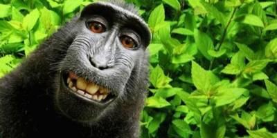O macaco que não tem direto à