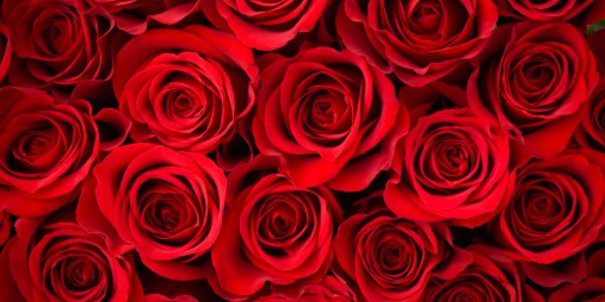 La rosa ecuatoriana reina en Rusia
