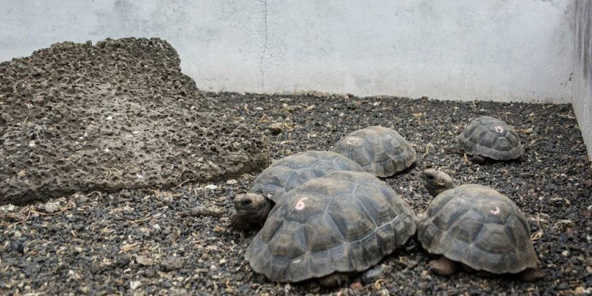Galápagos: Se recupera especie de tortuga considerada extinta