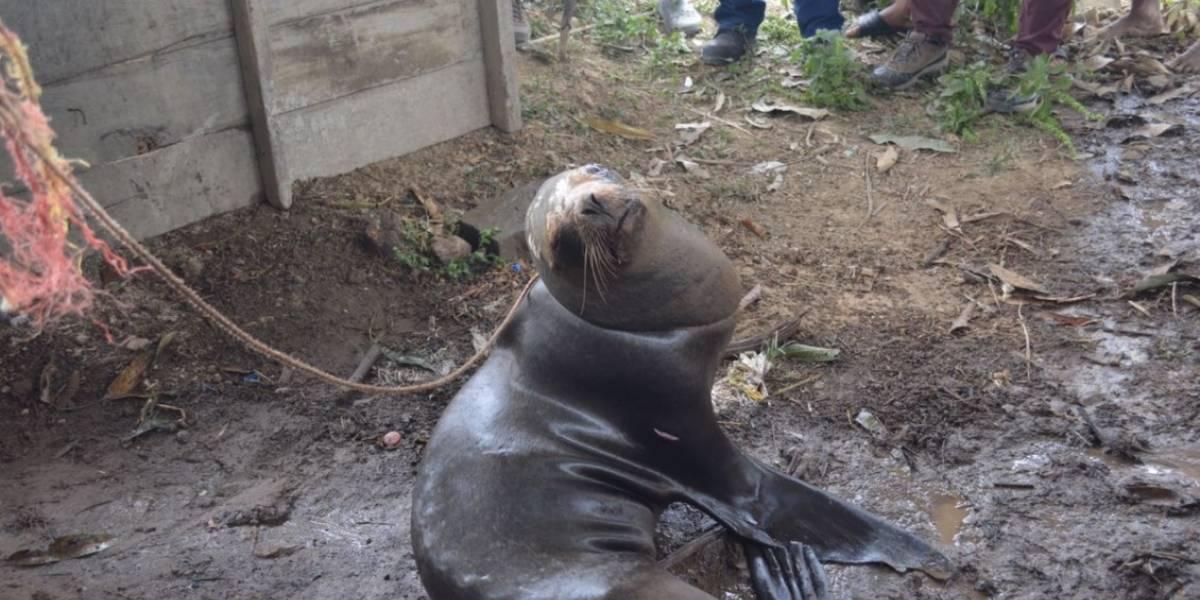 Rescatan a lobo marino en vivienda en Guayas