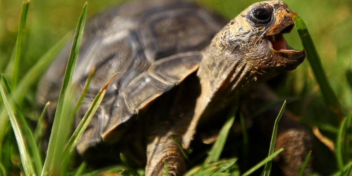 Espécie de tartaruga extinta há 150 anos é recuperada em Galápagos