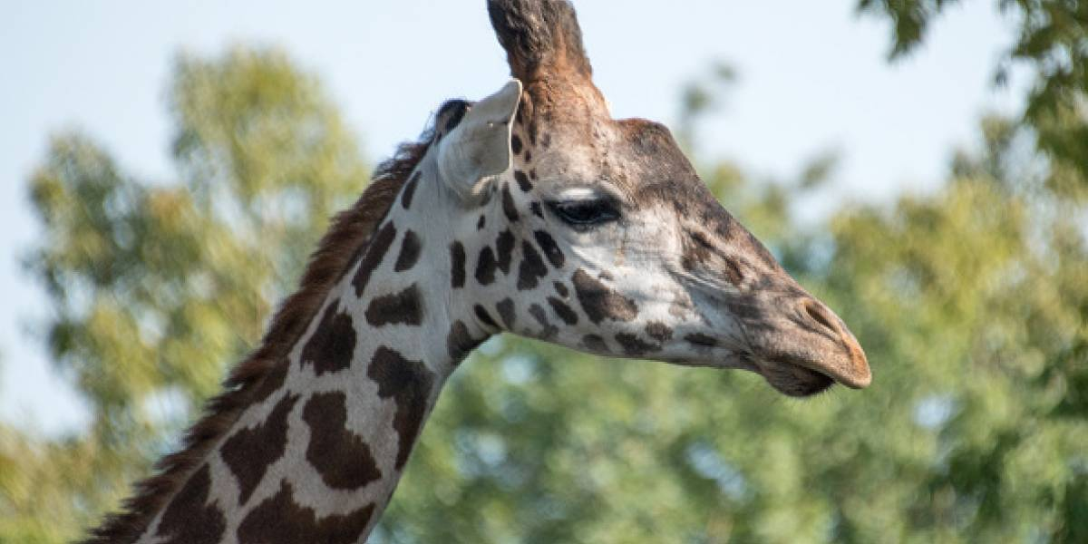 Captan en video a dos 'extrañas' jirafas blancas