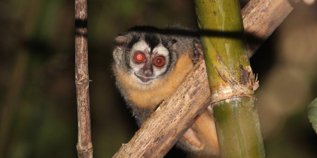 Adiós al mono nocturno; nueva especie en peligro de extinción