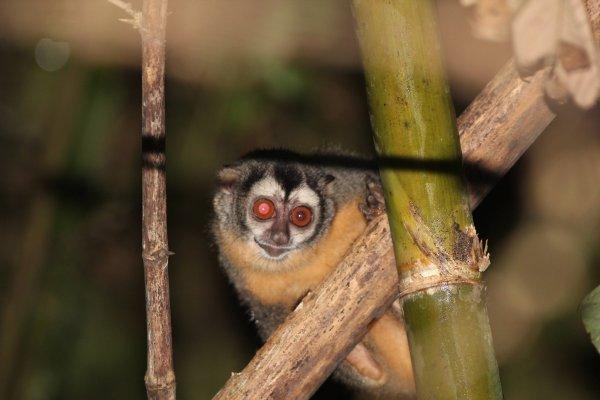 Mono Nocturno en Brasil y Perú