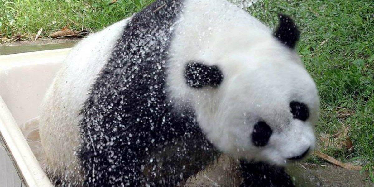 """Tenía más de 100 años humanos: Muere """"Basi"""", la panda gigante más vieja del mundo en cautiverio"""