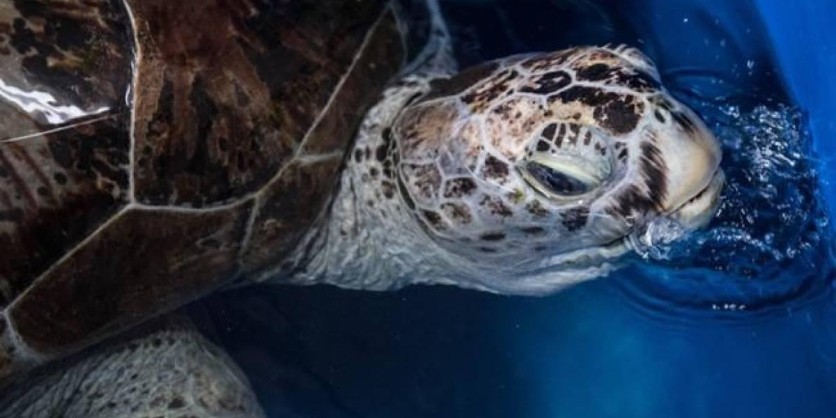 Todo por culpa de la irresponsabilidad humana: tortuga muere en Antofagasta tras comer plásticos