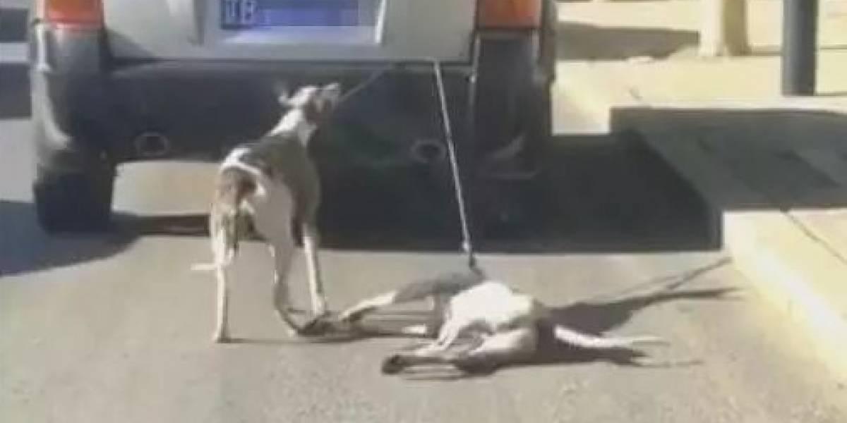 """Les puso una correa y los arrastró con su auto: indignación por hombre que """"entrenaba"""" a sus perros para una carrera"""