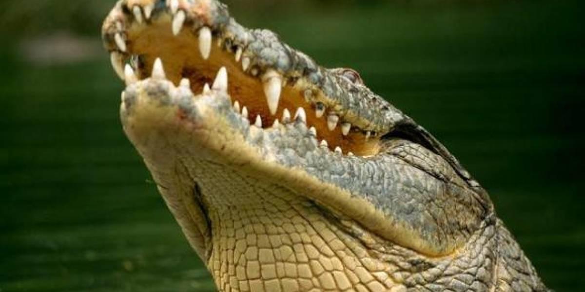 Reptil mata a encantador de cocodrilos