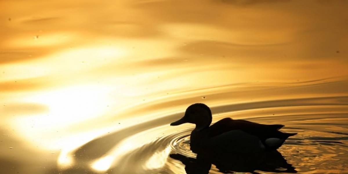 La ciencia responde la gran duda que todos teníamos: ¿por qué a los patos les crece tanto su curioso aparato reproductor?