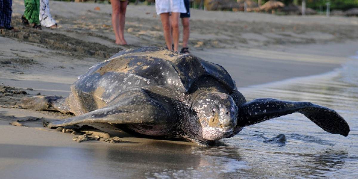 Hallan gigantesca tortuga de 700 kilos en una playa española