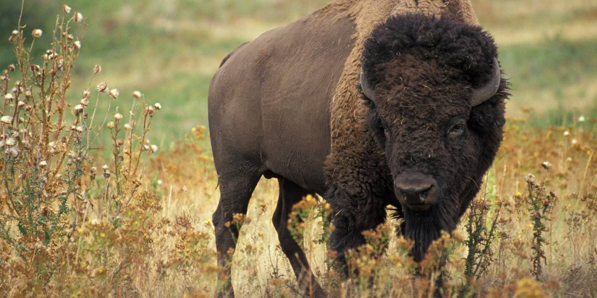 El caso que indigna al mundo: Encontraron al primer bisonte salvaje en 250 años en Alemania y lo mataron