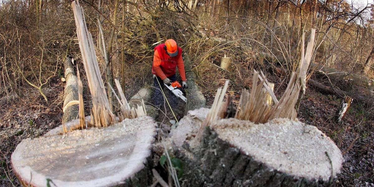 Juez da vía libre a tala de árboles a predio de Bavaria