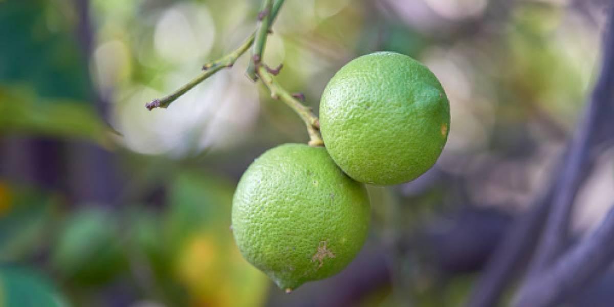 Limón y plátano experimentan subida de precios en mercados