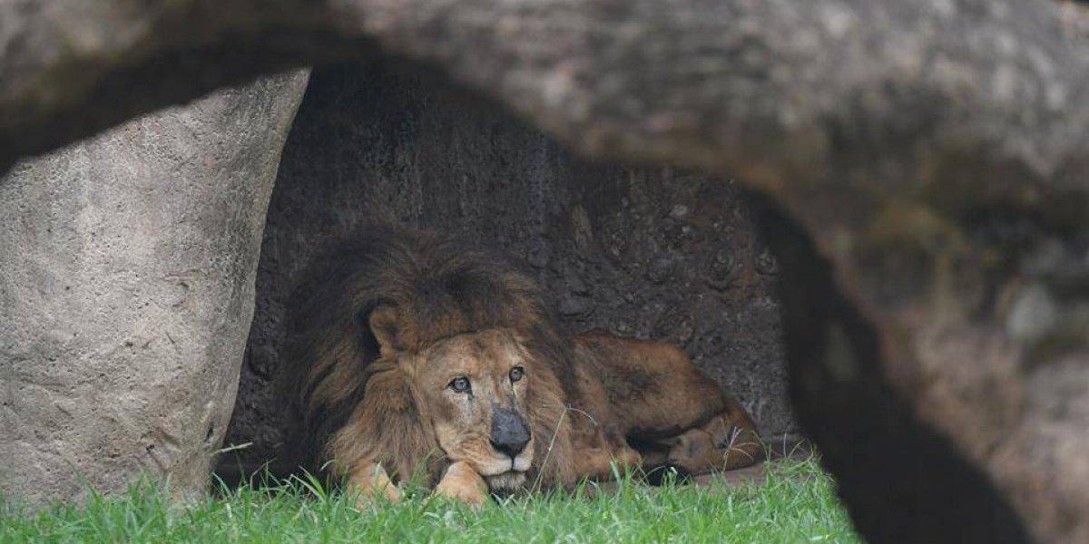 "¡Adiós, Leono! Zoo La Aurora confirma con un emotivo mensaje la muerte del ""Rey de la Selva"""