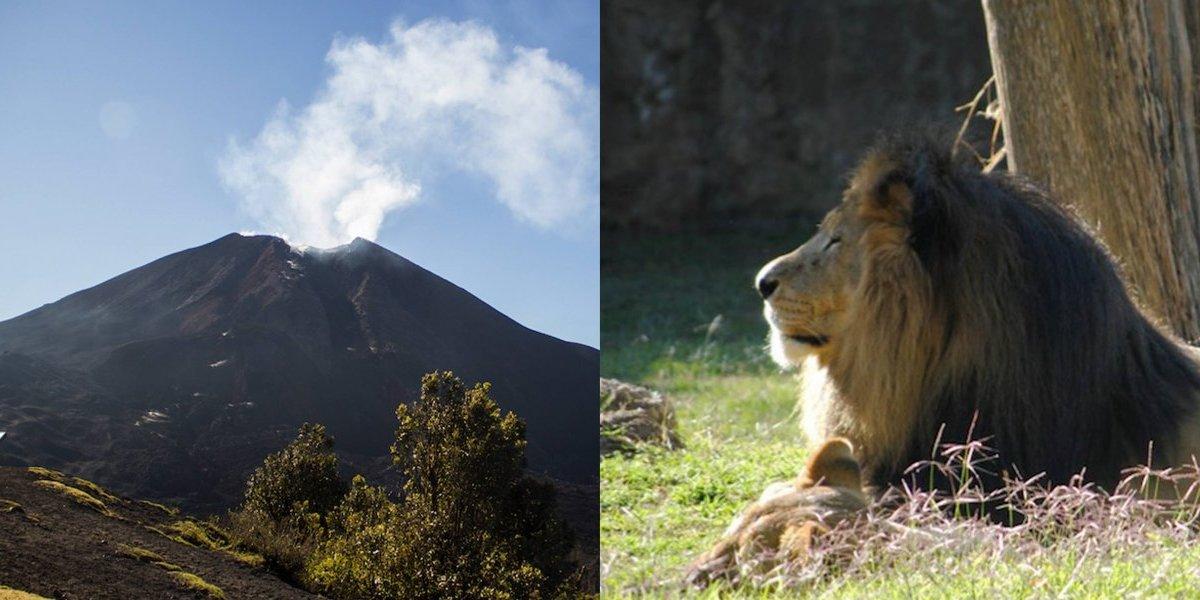 La increíble historia de Leono inició en las faldas del volcán de Pacaya ¡Conócela!
