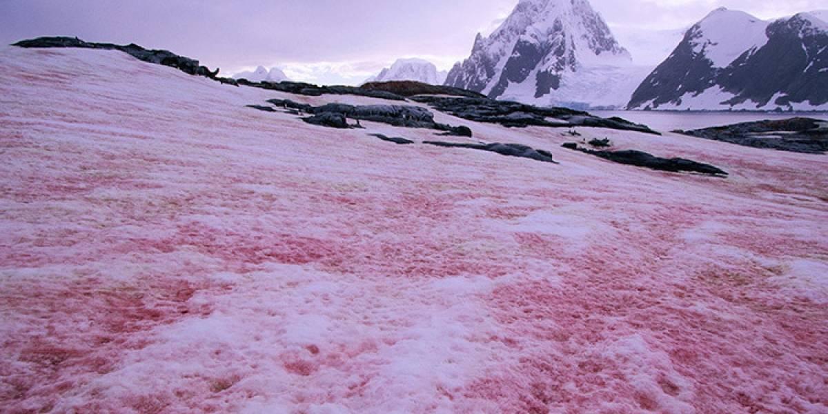 """""""Nieve sangrienta"""": el fenómeno que alerta a la ciencia y que se convertiría en la """"última nevada que vería la humanidad"""""""