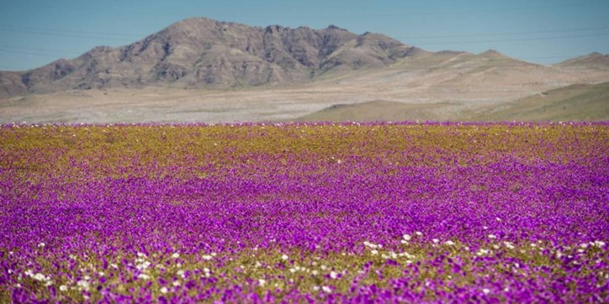 Trágico accidente: dos muertos y 20 heridos deja fatídico final de paseo al desierto florido