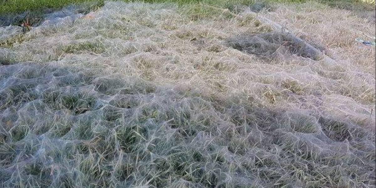 La peor pesadilla se hizo realidad: cientos de arañas se tomaron su jardín… y siguen reproduciéndose