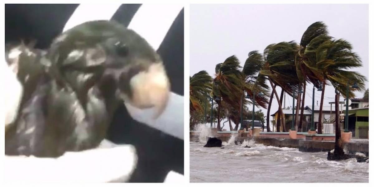 VIDEOS. Joven salva a decenas de pájaros del paso del huracán María
