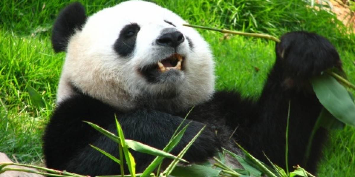El turismo afecta a la pérdida del hábitat de los pandas, según expertos