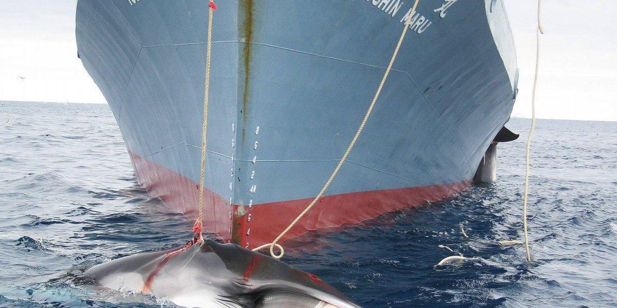 """Japón captura 177 ballenas en el Pacífico con """"fines científicos"""" y espera """"reanudar algún día la pesca comercial"""""""