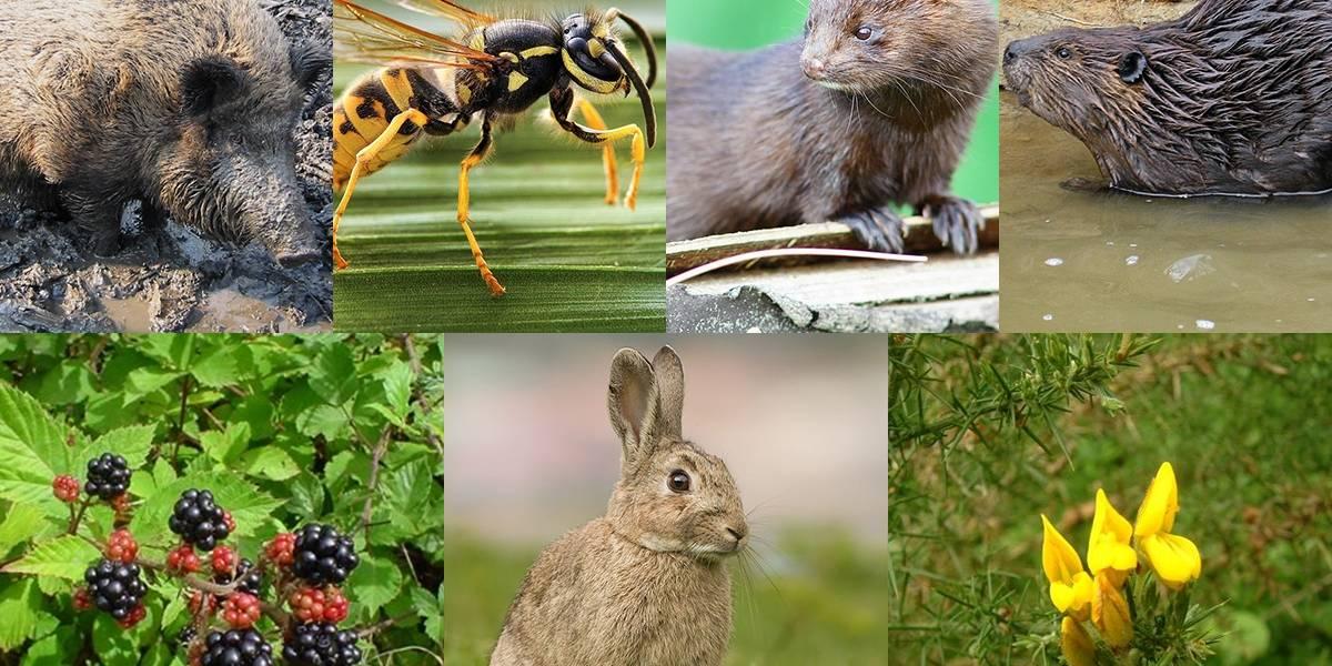 Estas son las siete especies exóticas invasoras que destruyen la biodiversidad de Chile: provocan un daño de $59 mil millones al año