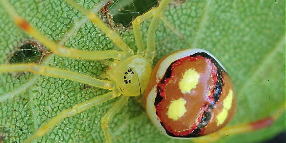 """Las más felices del mundo: Descubren quince nuevas especies de arañas """"sonrientes"""""""
