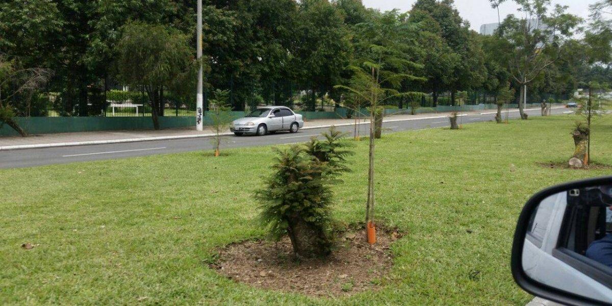 Naturaleza da lección: brotan árboles talados en bulevar Juan Pablo II