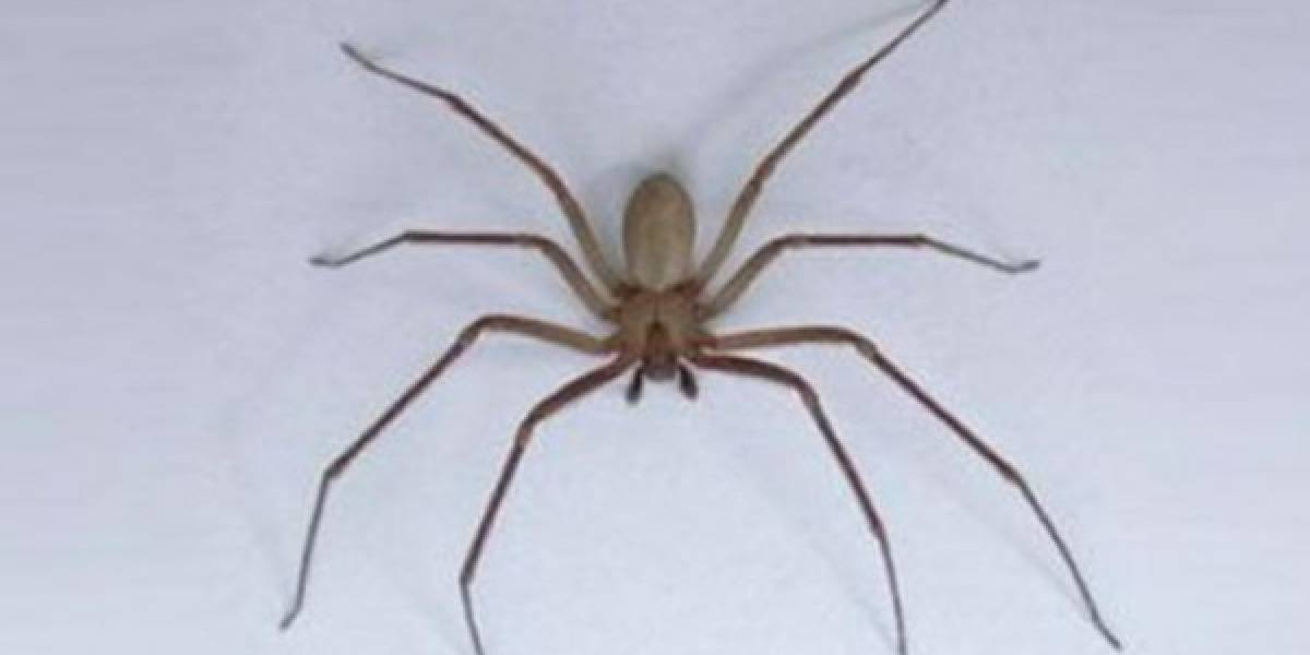 Bebé de 11 meses muere por piquete de araña violinista