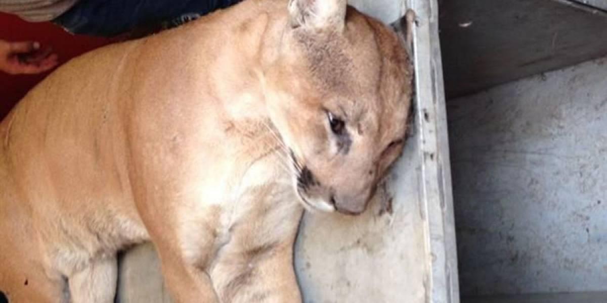Puma se paseaba por calles de Tequila, ya fue capturado