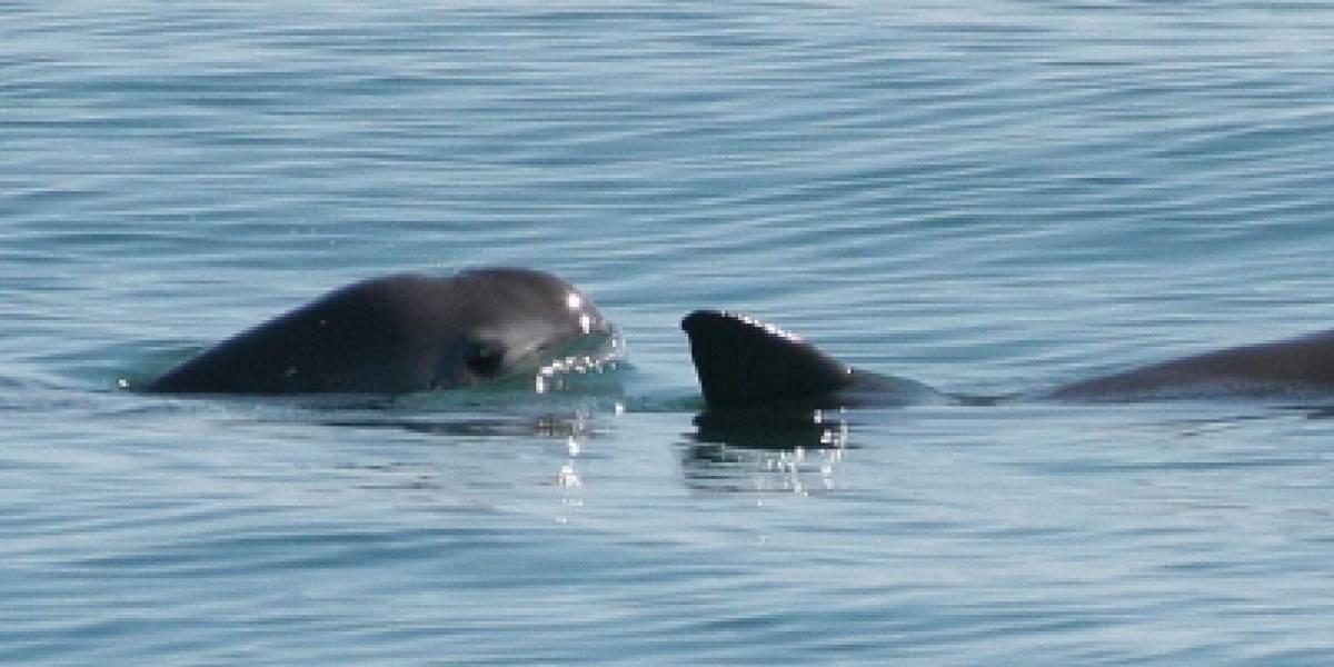 Aumenta el número de ejemplares de vaquitas marinas en México