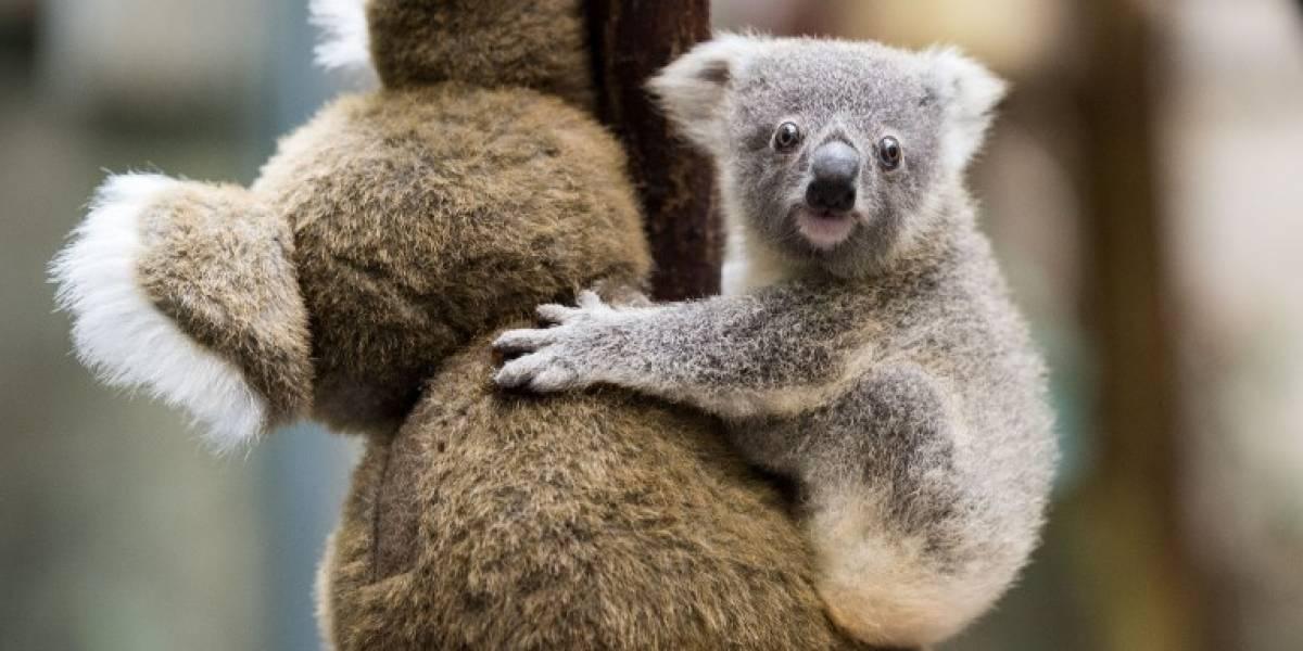 ¡Pobre Irene! La historia de la koala que se escapó de zoológico para buscar una pareja para aparearse