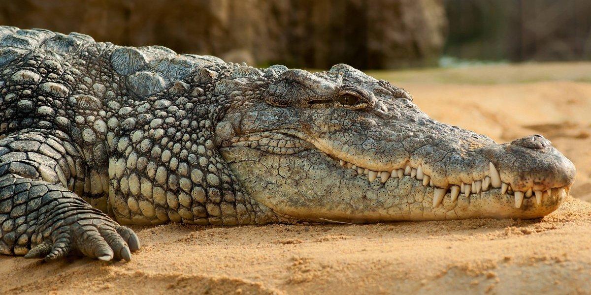 Matan a cocodrilo en venganza por la muerte de su amigo; ya están detenidos