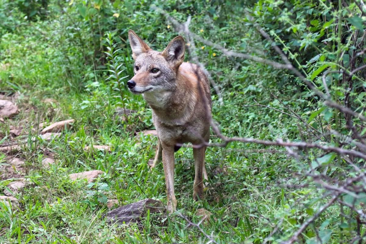 Retornan a dos coyotes a su hábitat en Tlajomulco