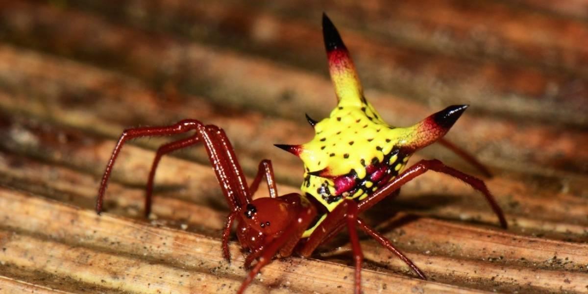 Descubren en Honduras una especie de araña igual a Pikachu