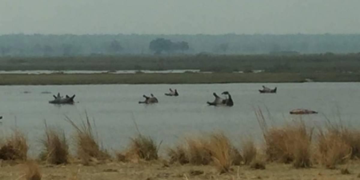 Nadie sabe la causa: Un centenar de hipopótamos aparecen muertos en un lago de África