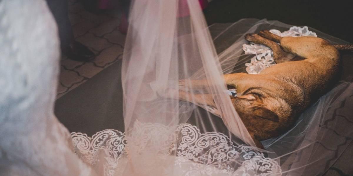 El mejor regalo de bodas: perrito callejero se robó la película acostándose en el velo de la novia y la historia terminó de la mejor manera
