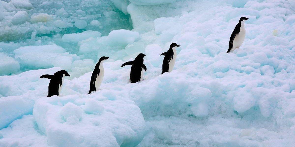 Mueren de hambre 40 mil crías de pingüino en la Antártida