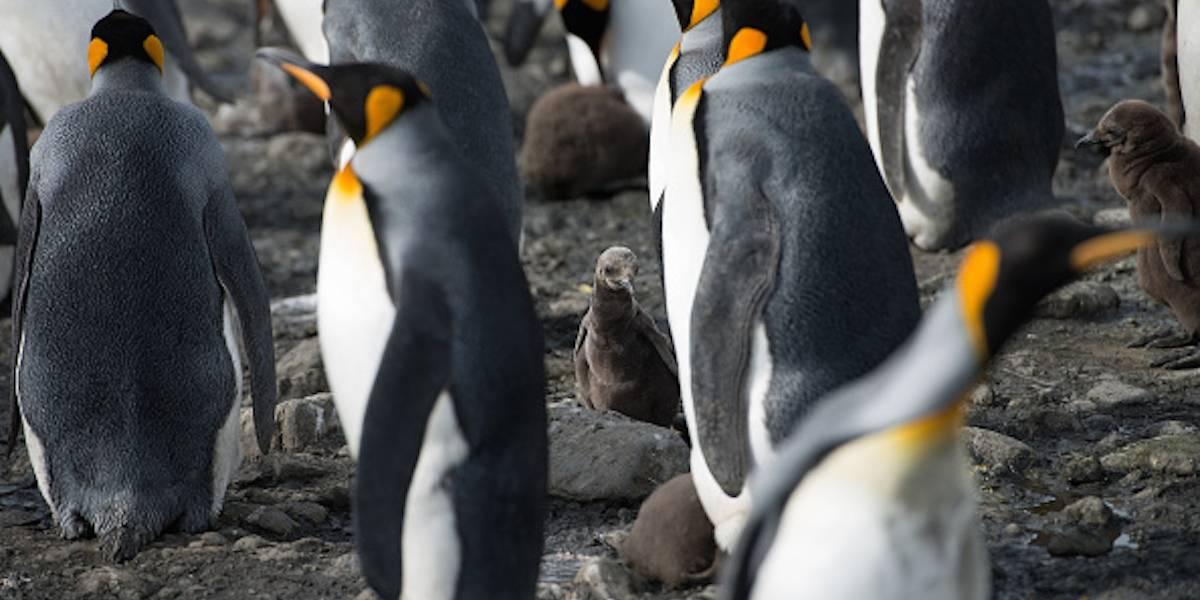 Preocupa a científicos la muerte masiva de pingüinos en la Antártida