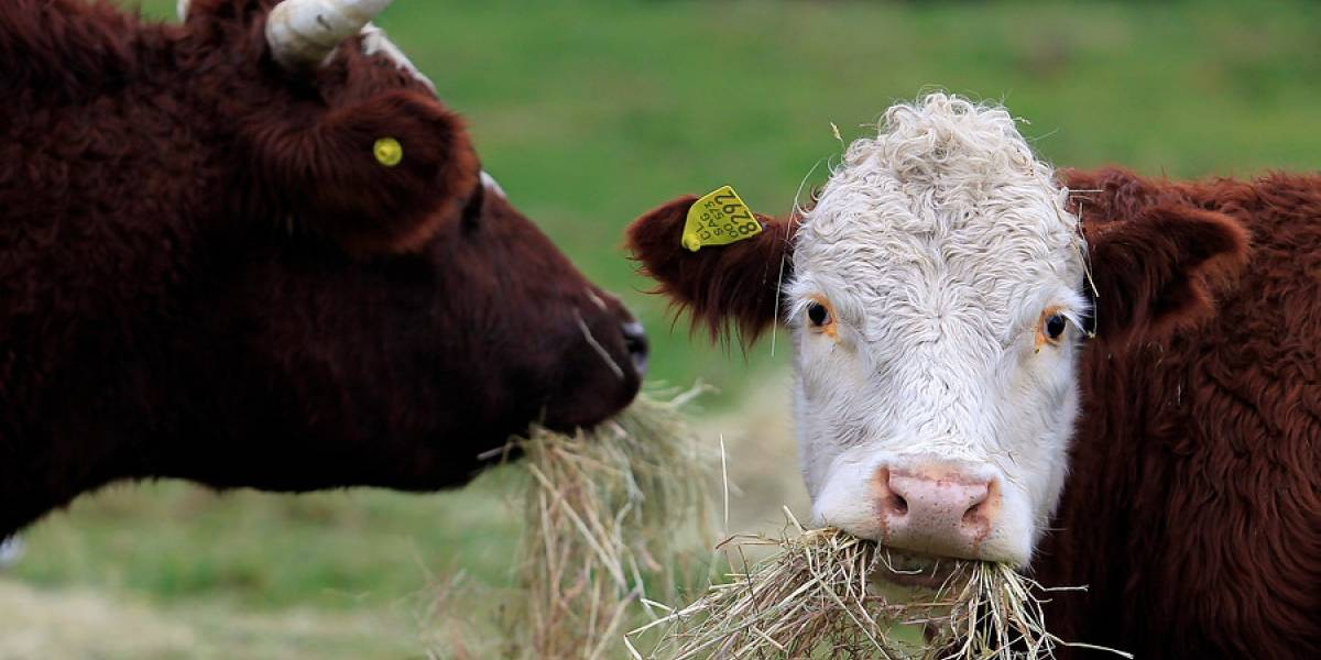 Pura maldad: sujeto apuñala siete veces a indefensa vaca lechera en Viña del Mar tras no poder robarla